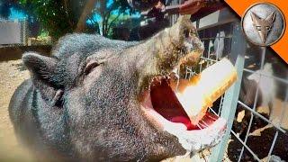 BEWARE of BIG PIG! thumbnail