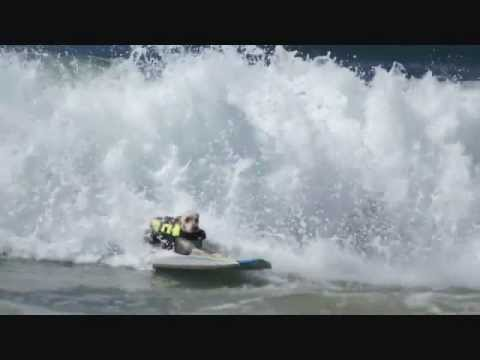 Sugar the Surfing Rescue Dog Rides Monster Wave and Hangs 10!!!!