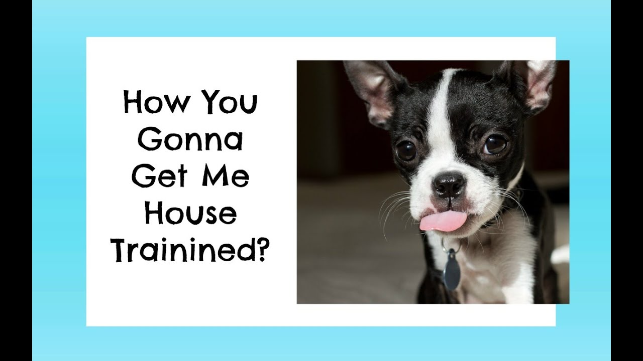 boston terrier potty training how to potty train a boston terrier puppy new boston 542