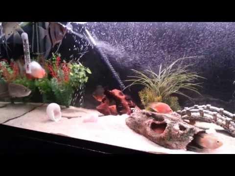 African Cichlids and Arowana Tank Mates