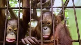 World News: Indonesian Wild Fire Affect Rare Type of Monkeys