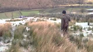 Rabbit hunting with spaniel..