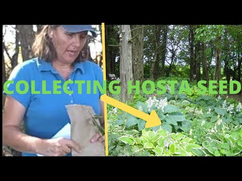Collecting Hosta Seeds Growing Hostas From Seed Storing Hostas Youtube
