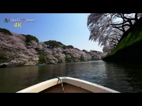 [4K] ボートから見る千鳥ヶ淵の満開桜 Pov Chidorigafuchi beautiful Cherry Blossoms view of boat (Tokyo Japan)千鳥ヶ淵の満開桜