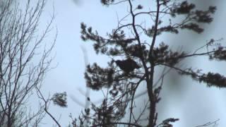 Охота на лося c лайкой видео бесплатно 2013-2014.