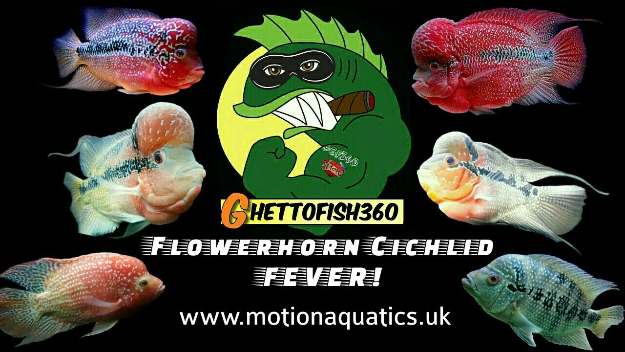 Flowerhorn Cichlids - Motionaquatics UK