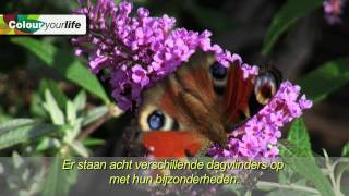 Terras Buddleja, winnaar Colour your Life Award Plantarium 2011