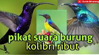 Suara Burung Kolibri Rame Cocok Buat Pikat