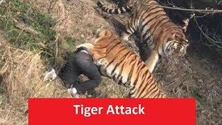 latest tiger attack in India
