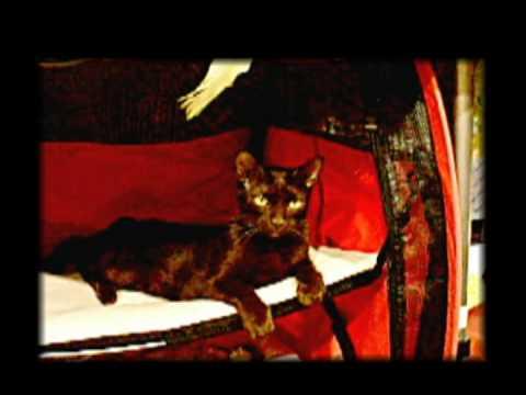 Havana Brown Cat at Glass Citicats Cat Show
