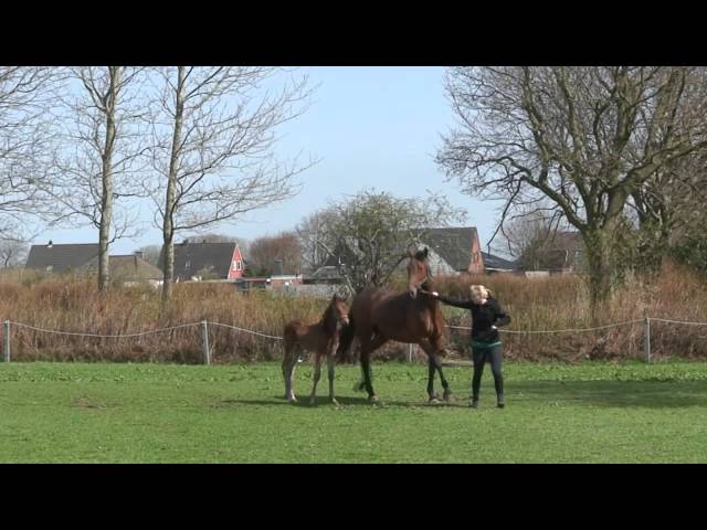 Holsteiner - filly by Stanfour