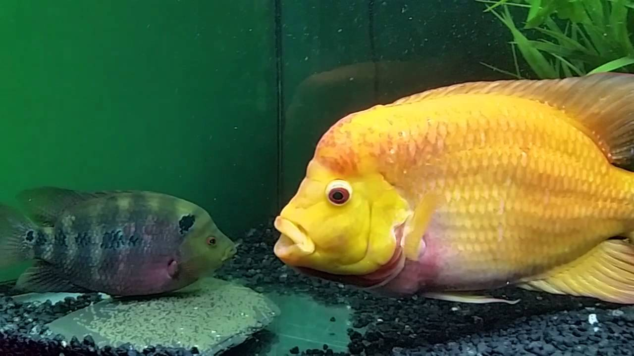 Yellow flower horn fish images for Yellow rainbow fish