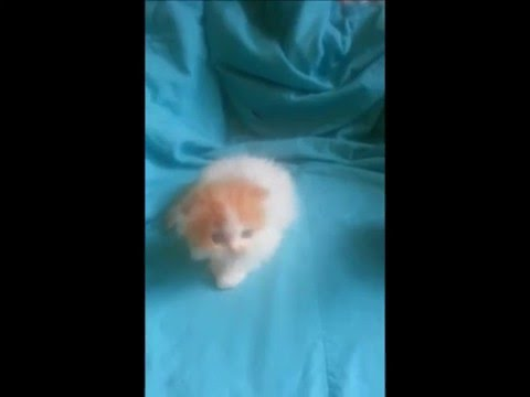 Scottish Fold Persian and Frizzle Chick