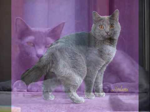 Chartreux Cat   an informational video