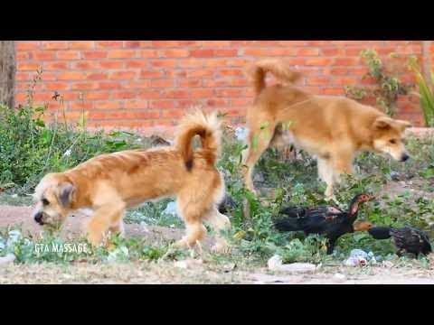 Golden Retriever Vs Old English SheepDog in Khnar Thmey Village   Rural Dogs #018