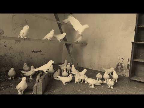 Вот они !!! Настоящие ЛЕНИНАКАНСКИЕ Голуби I Leninakan Pigeons Right From Armenia(Михаил , Moldova )