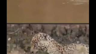 Jaguar attacks an Adult Caiman in the presence of some Tourists