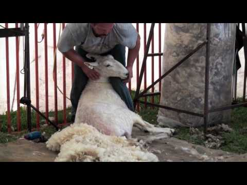 Sheep Shearing Made Simple