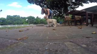 13-week Old Golden Retriever Puppy Murphy: How To Train Your Dog Heel Turns