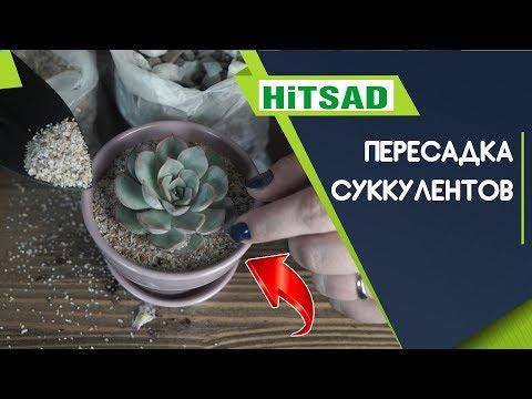 Вопрос: Что такое транспортировочный грунт и как пересадить из него цветок?