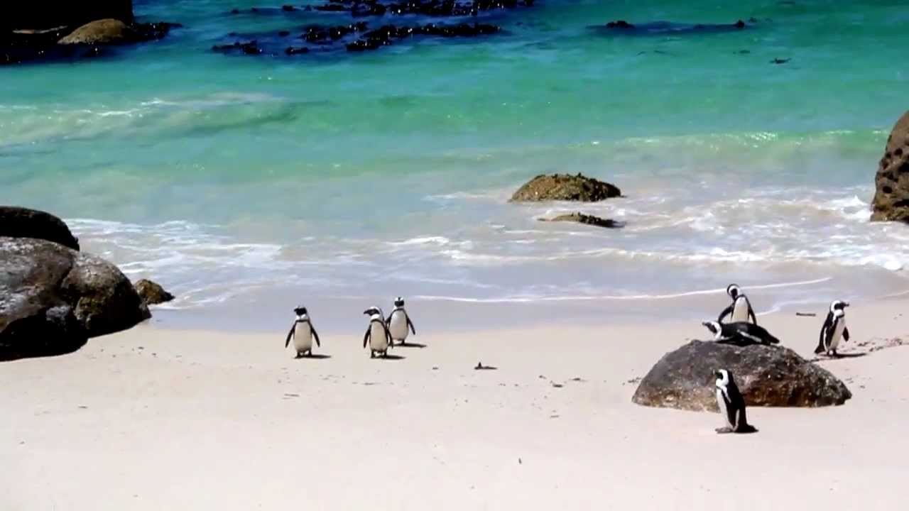 South African Penguins At Boulders