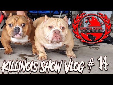 AMERICAN BULLY/EXOTIC BULLY DOG SHOW!!!!! KILLINOIS KENNELS SHOW VLOG#14  BRC GLOBAL