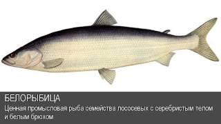 Белорыбица. Толковый Видеословарь русского языка