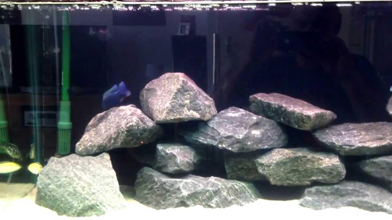 Malawi cichliden aquarium eerste dag na opnieuw inrichten tips zijn altijd welkom geniet er van - Opnieuw zijn toilet ...
