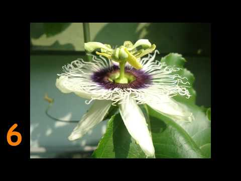 passion fruit time lapse from bud to fruit