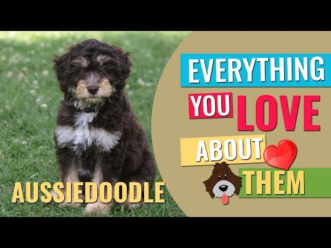 Aussiedoodle - All Facts About The Friendly Furry Partner