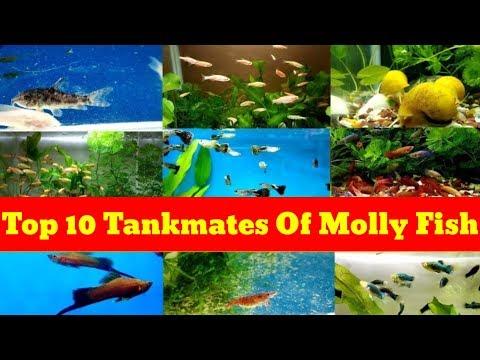 Top 10 Tank Mates Of Molly Fish