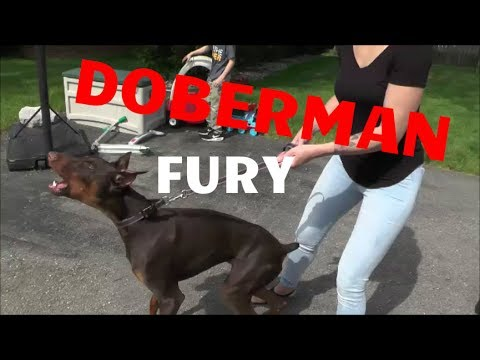 DOBERMAN FURY - SAFECALM DOG TRAINING COLLARS - BIG CHUCK MCBRIDE