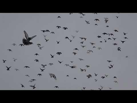Полеты Николаевских голубей 10.01.2019