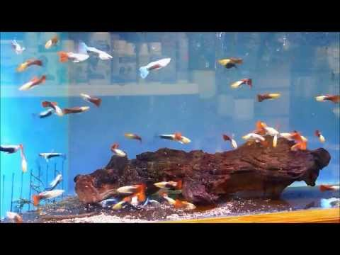 A Selection Of Our Freshwater Tropical Fish