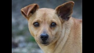 Alexander- Jack Russell/ Miniature Pinscher Mix With Rover Rescue