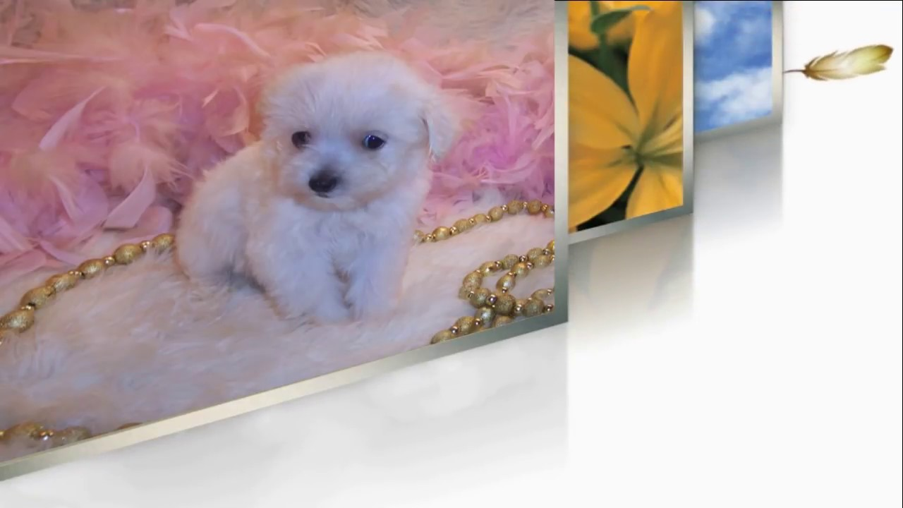 Maltipoo, Maltese Poodle mix Puppies for Sale