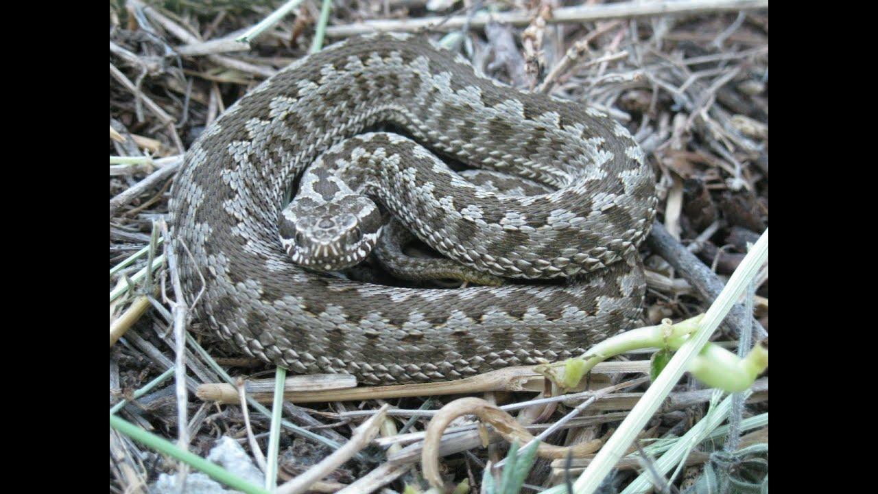 Ядовитые змеи ставропольского края