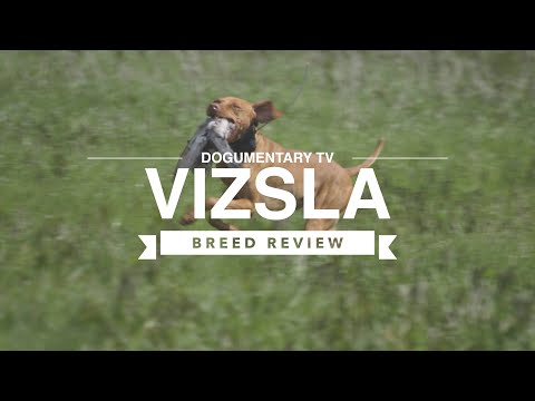 VIZSLA BREED REVIEW