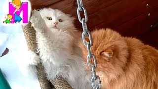 ИГРЫ КОТОВ | смешные коты | CATS GAMES | funny cats, котэ, видео про котов | Matilda(Наблюдаем веселые игры котов / игры кошек! Наши котэ активно резвятся весной. Как это было смотрите наше..., 2016-03-17T19:09:31.000Z)