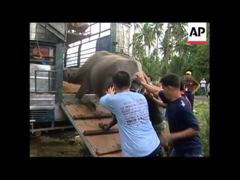 WRAP Volcano still rumbling, animals rescued from danger zone