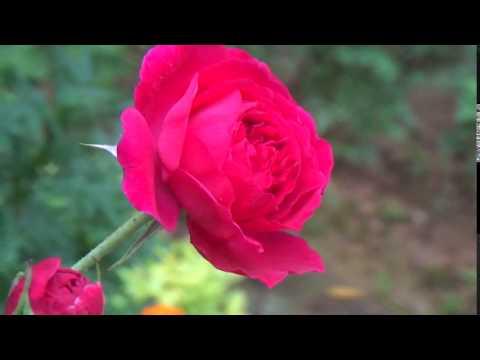 Beautiful  Rose flowers HD Loop Free Download