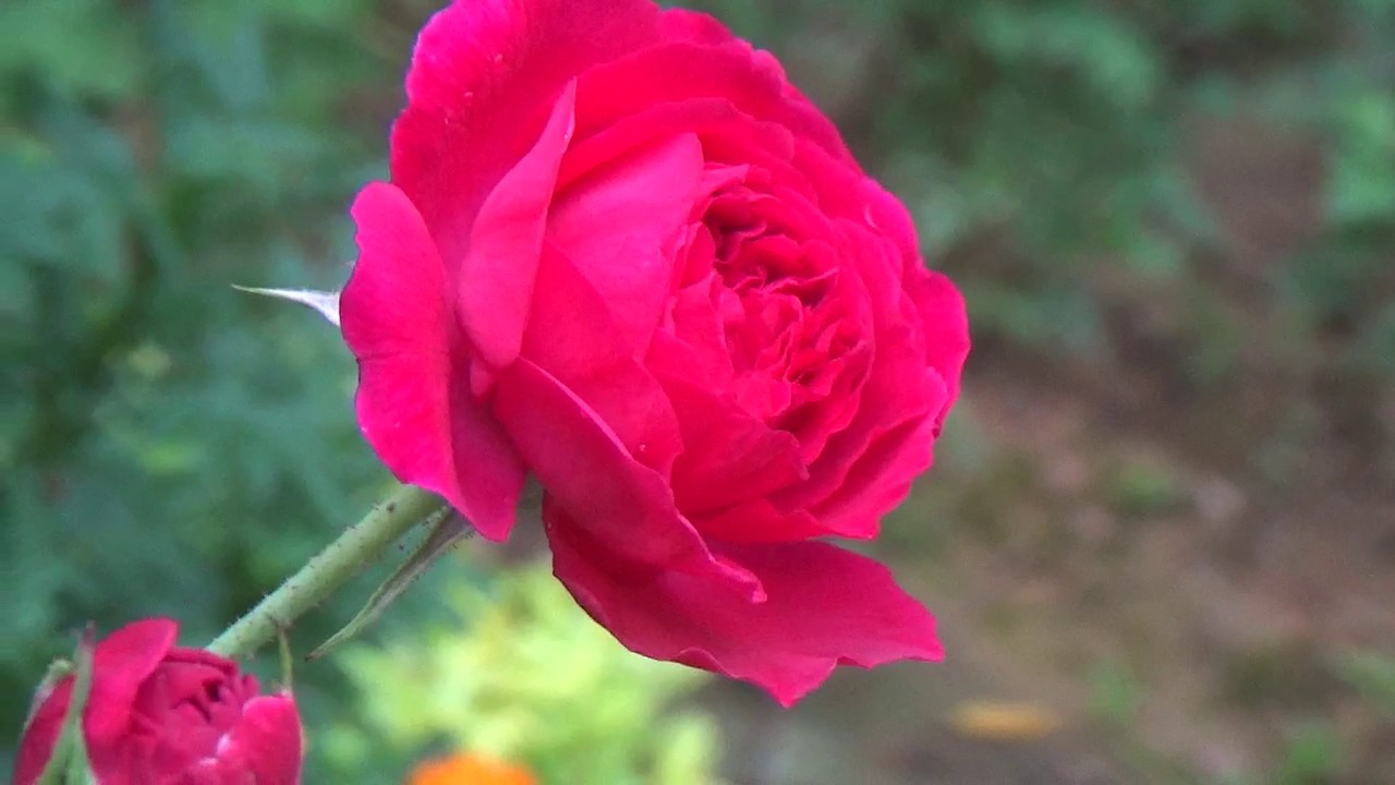 Beautiful rose flowers hd loop free download youtube beautiful rose flowers hd loop free download izmirmasajfo