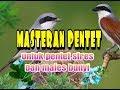 Masteran Pentet Untuk Pentet Yang Stres Dan Males Bunyi Dijamin Auto Gacor  Mp3 - Mp4 Download