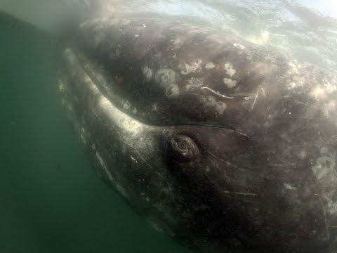 Baja 2017 Whale Watching