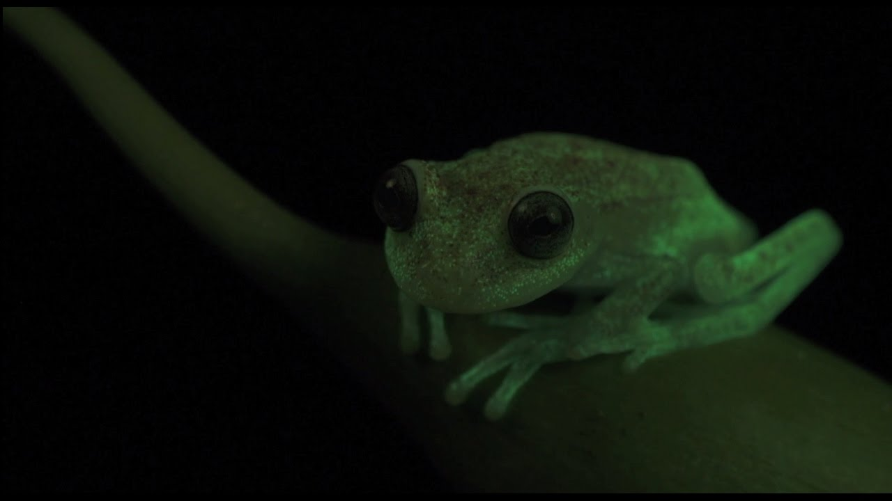 Светящаяся в темноте лягушка найдена в Аргентине