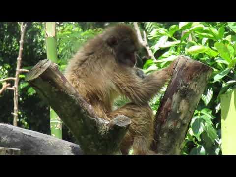 MONYET JEPANG/ Japanese Macaque/ Macaca fuscata at SURABAYA ZOO