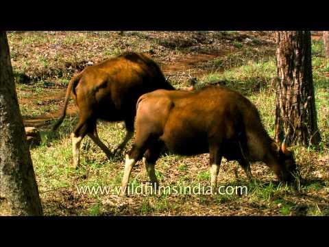 Herd of Gaur or Indian Bison grazing at Satpura