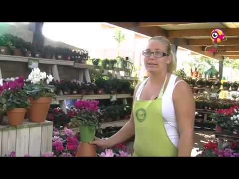 Bot nics el ciclamen youtube for Jardineria la noguera