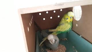 Sezonun İlk Yeme Düşen Yavruları ve Yumurtaları
