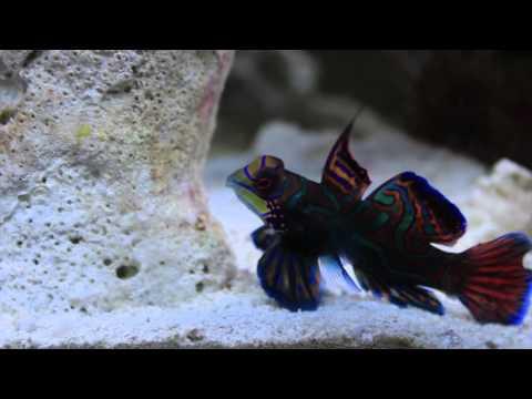Species Spotlight Season 2 - Mandarin 101 (The Blue Mandarin) - Episode 6